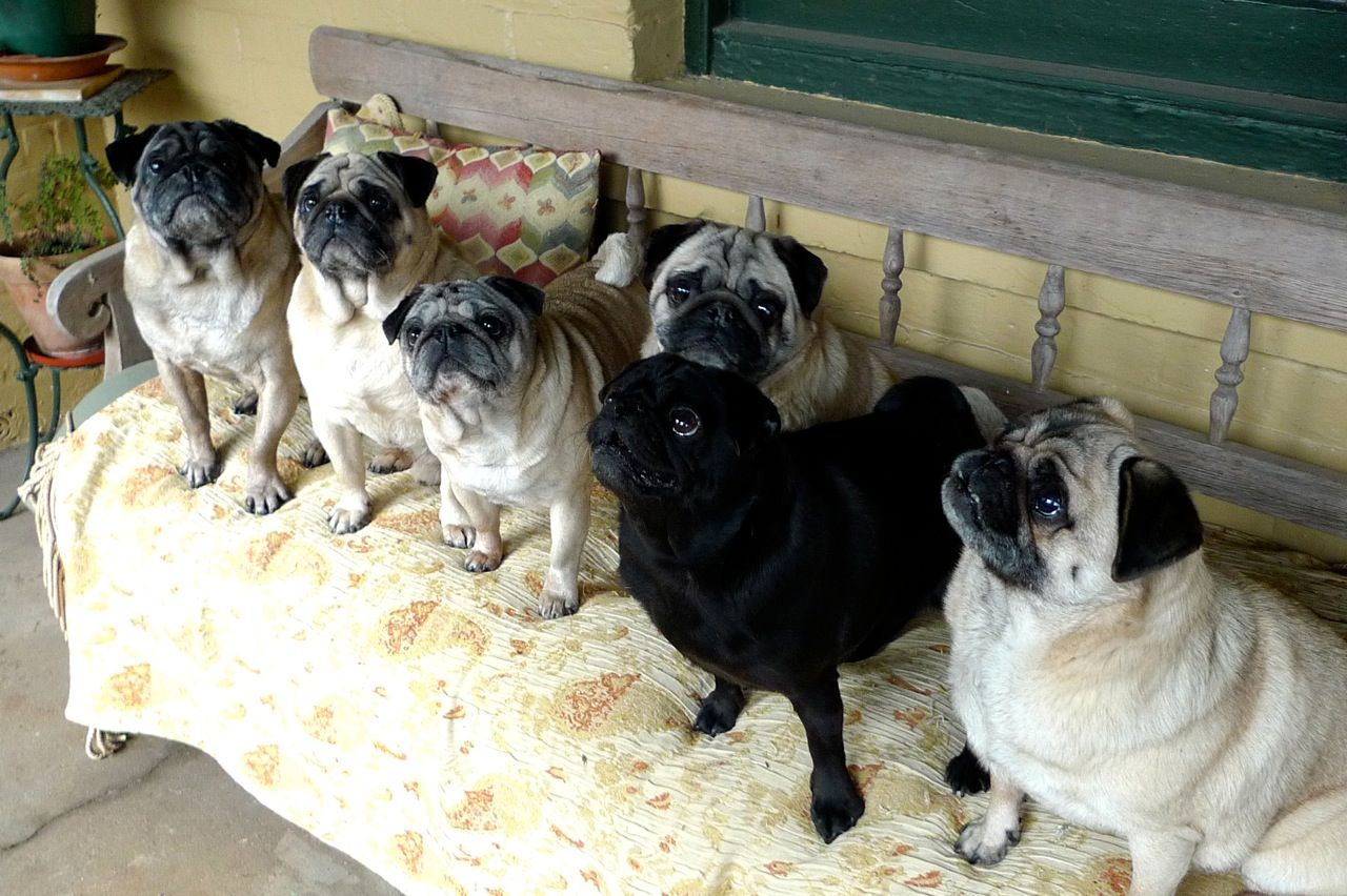 Pug dogs in the city